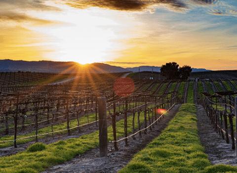 Vinograd i zalazak sunca