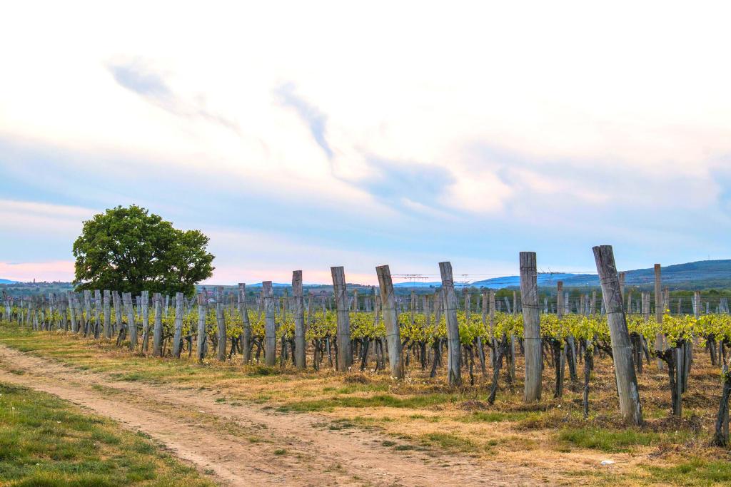 Vinogradi vinarije Perak