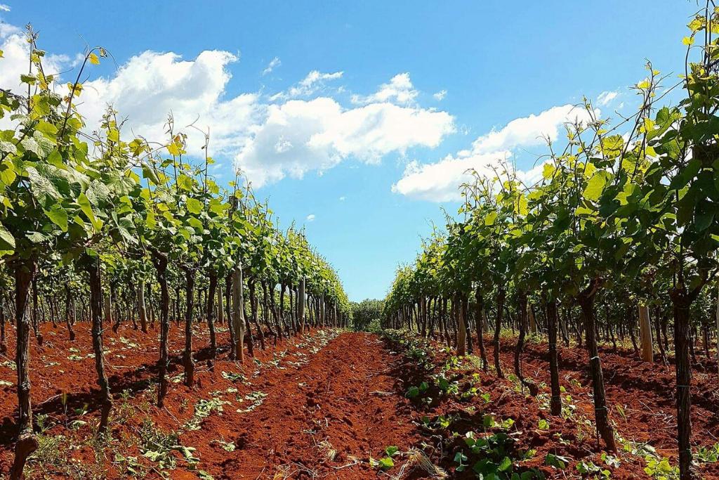 Vinogradi vinarije Rossi