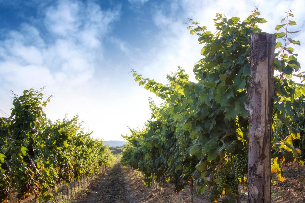Vinogradi vinarije Benvenuti