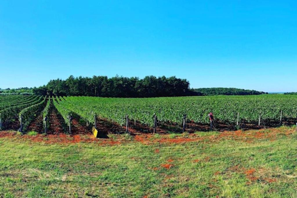 Vinogradi Istra