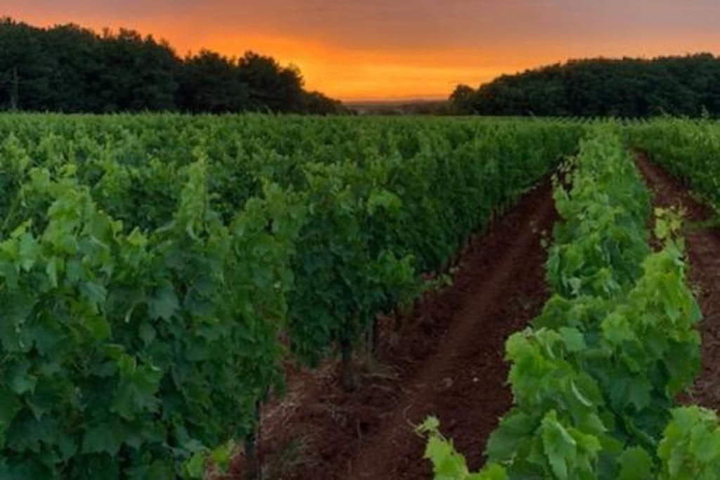 Zalazak u vinogradu