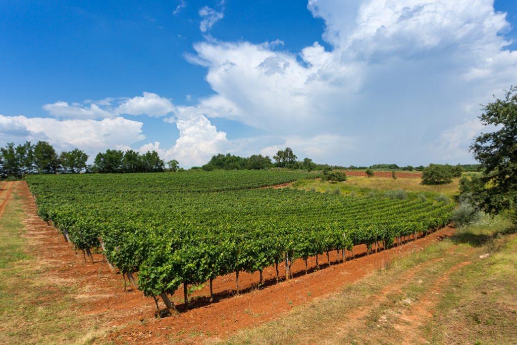 Vinogradi OH wines